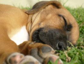 omega three oil dogs